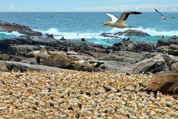 Cape Gannet breeding colony, Bird Island Nature Reserve, Lambert\'s Bay, Cape West Coast, Western Cape