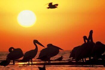 Pelicans, Lambert\'s Bay, Cape West Coast, Western Cape